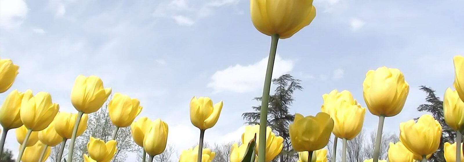 Tulips image slide
